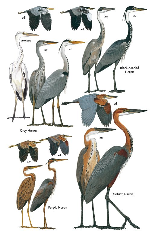 Herons of The Gambia and Senegal