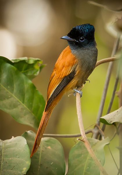 African Paradise Flycatcher, The Gambia