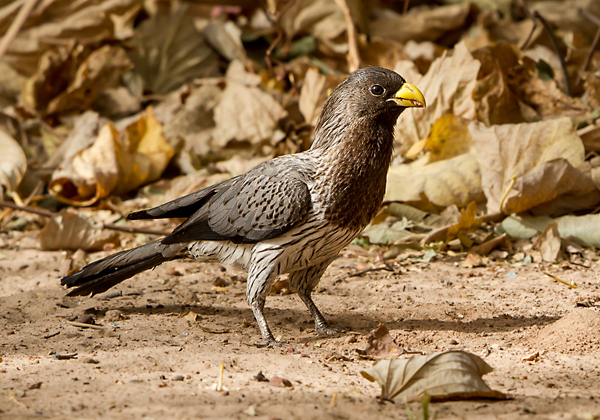Gambia Bird Guide Plantain eater