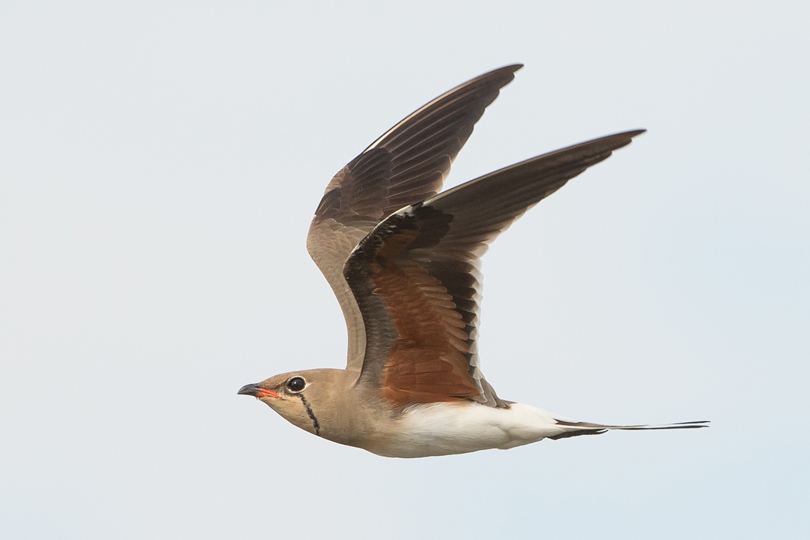 Collard Pratincole in The Gambia