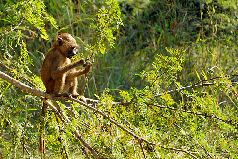 Young baboon in Makasutu Forest