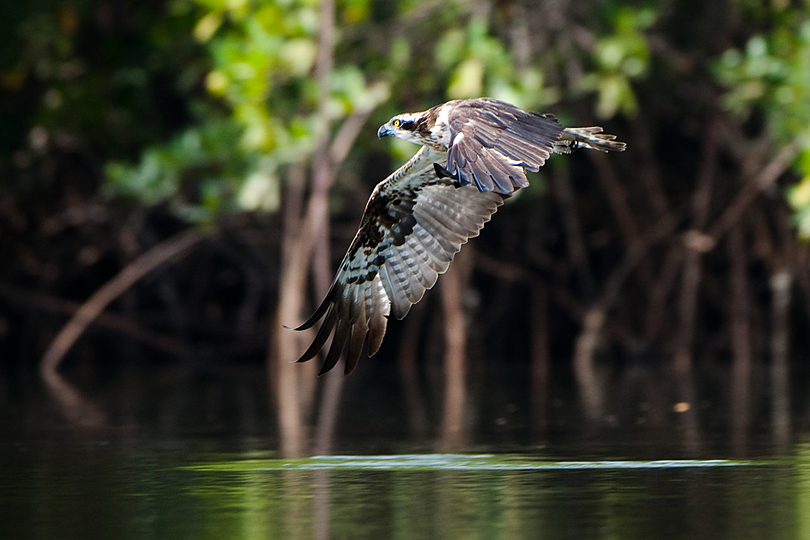 Osprey skimmng the waters of a tributory of the River Gambia, The Gambia, West Africa