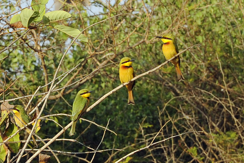 Little Bee-eaters in The Gambia