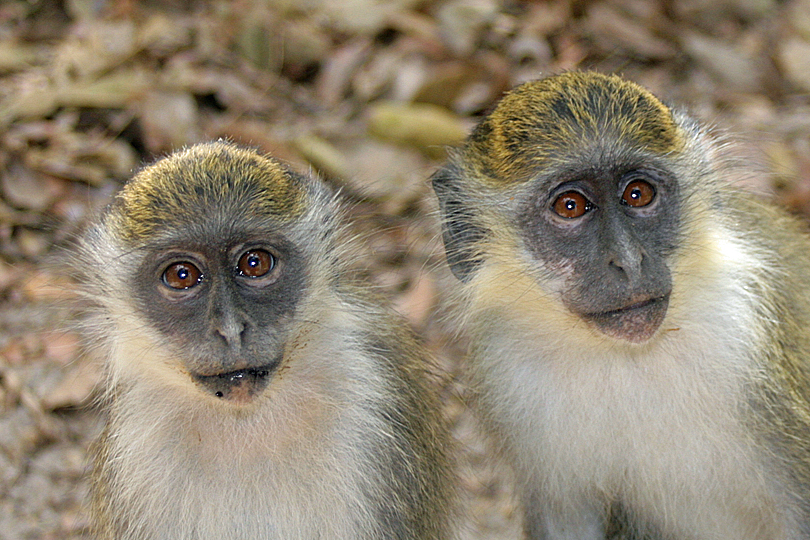 Green Vervet monkeys in The Gambia - Top 10 tips for being a responsible visitor in The Gambia - please don't feed the monkeys