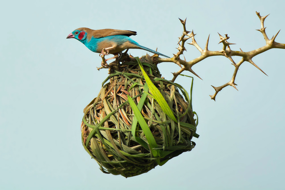 A Red-Cheeked Cordon Bleu investigates an occupied vitelline weaver nest