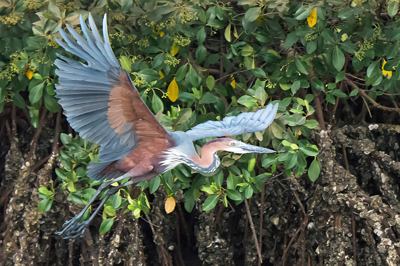 Goliath Heron by Dave Montreuil