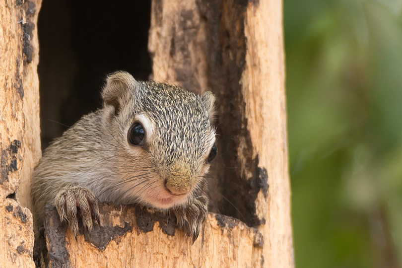 Squirrel, Mandina Lodges, Makasutu, Gambia by Dave Montreuil