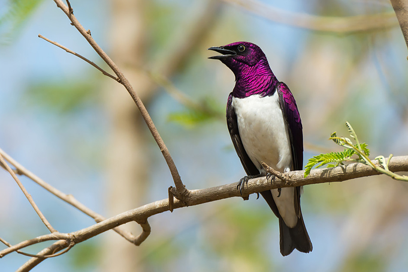 A male Violet-Backed Starling by Dave Montreuil