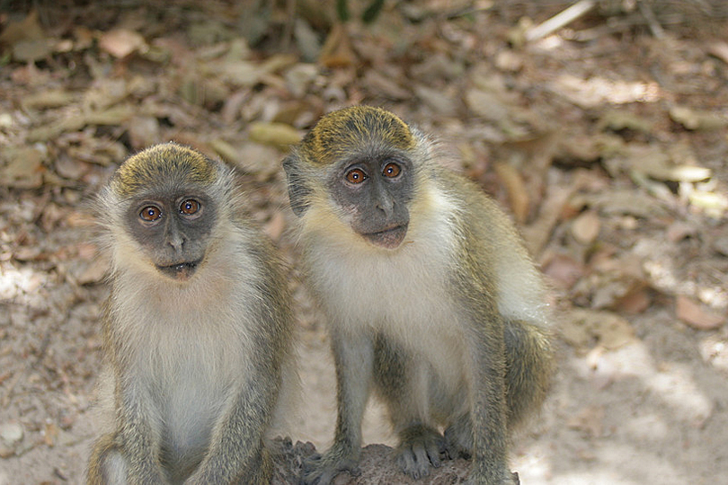 Green Vervet Monkeys