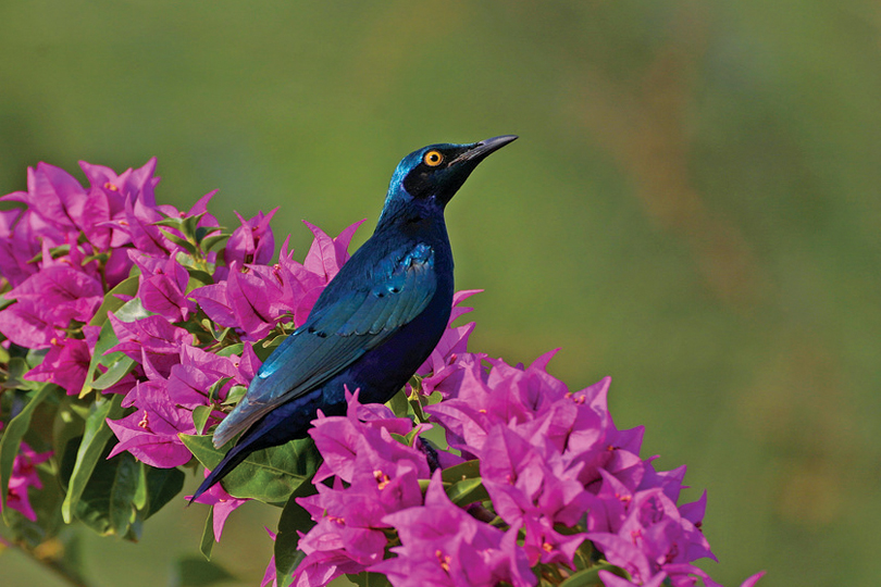 Glossy Blue Starling by Vaughan Ashby